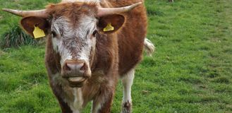幼小英国长角牛 免版税图库摄影