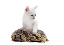 幼小草龟和猫 库存图片
