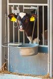 幼小荷兰黑白小牛在钢农厂槽枥 库存图片