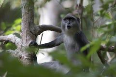 幼小蓝色猴子或坐在的一个分支的diademed猴子 免版税库存图片