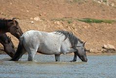幼小蓝色软羊皮的喝在普莱尔山野马范围的水坑的公马野马在蒙大拿美国 库存图片