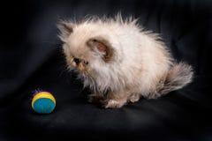 幼小蓝蚝喜马拉雅波斯小猫 库存图片
