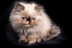 幼小蓝蚝喜马拉雅波斯小猫 库存照片