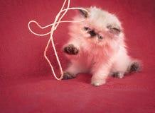 幼小蓝蚝喜马拉雅波斯小猫 免版税库存图片