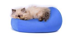 幼小蓝蚝喜马拉雅波斯小猫 免版税库存照片