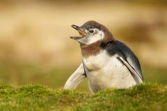 幼小蜕变的Magellanic企鹅叫在洞穴附近 免版税库存图片