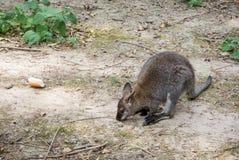 幼小袋鼠和干新月形面包 免版税库存照片