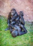 幼小西部凹地大猩猩-大猩猩大猩猩大猩猩-母亲 库存照片