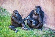 幼小西部凹地大猩猩-大猩猩大猩猩大猩猩-母亲 库存图片