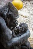 幼小西部凹地大猩猩-大猩猩大猩猩大猩猩-母亲 图库摄影