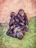 幼小西部凹地大猩猩-有崽的母亲 免版税库存照片