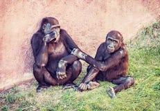 幼小西部凹地大猩猩-有崽的母亲 免版税库存图片
