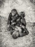 幼小西部凹地大猩猩-有崽的母亲 库存图片