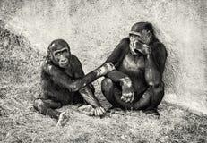 幼小西部凹地大猩猩-有崽的母亲 库存照片