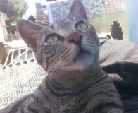 幼小讨人喜欢的灰色猫 免版税库存照片
