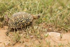 幼小豹子草龟 库存图片