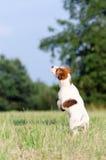 幼小起重器罗素狗狗跳,停止运动 库存照片