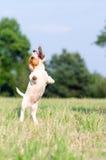 幼小起重器罗素狗狗跳,停止运动 免版税图库摄影