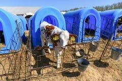 幼小逗人喜爱的小牛在奶牛场 免版税库存图片