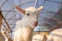 幼小逗人喜爱的山羊 免版税库存照片