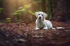 幼小逗人喜爱的白色拉布拉多猎犬狗小狗说谎以森林为基础 图库摄影