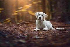 幼小逗人喜爱的白色拉布拉多猎犬狗小狗说谎以森林为基础 免版税库存照片