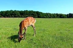 幼小逗人喜爱的鹿 库存图片