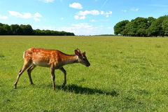 幼小逗人喜爱的鹿 免版税库存图片