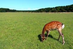幼小逗人喜爱的鹿 免版税库存照片