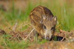 幼小野公猪在春天森林里 免版税库存图片
