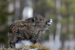 幼小野公猪, SU scrofa,在与森林的草甸小丘在背景中,捷克共和国,野生猪在冬天 免版税库存图片