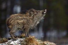 幼小野公猪, SU scrofa,在与森林的草甸小丘在背景中 免版税库存照片