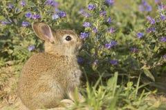 幼小野生兔子 免版税库存照片