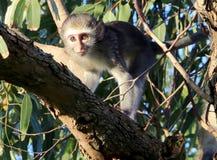幼小野生非洲人黑长尾小猴 免版税库存照片