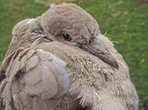 幼小野生鸽子 库存图片
