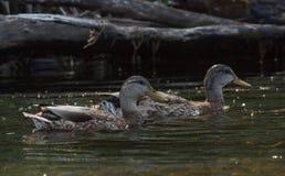 幼小野鸭在夏天 免版税库存图片