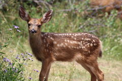 幼小长耳鹿和紫色野花 库存照片