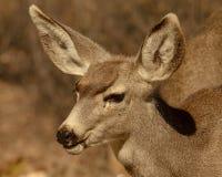 幼小长耳鹿在亚利桑那 免版税库存图片