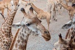 幼小长颈鹿在动物园里 免版税库存照片