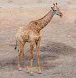 幼小长颈鹿在动物园里 免版税库存图片