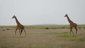 幼小长颈鹿在狂放的非洲大草原的平原走 股票录像