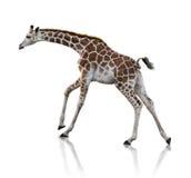 幼小长颈鹿 免版税库存图片