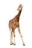 幼小长颈鹿 库存照片