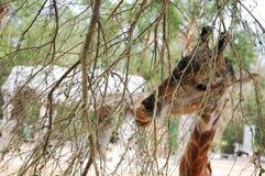 幼小长颈鹿 库存图片