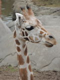 幼小长颈鹿 免版税库存照片