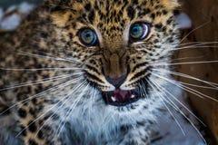 幼小阿穆尔河远东豹子 免版税库存照片