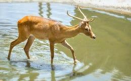 幼小雄鹿在动物园里 图库摄影