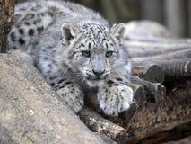 幼小雪豹, Uncia uncia观看周围 免版税库存图片