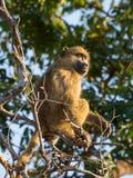 幼小非洲大草原狒狒画象在树的分支坐晴天, Chobe NP,博茨瓦纳,非洲 库存图片