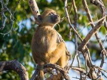 幼小非洲大草原狒狒画象在树的分支坐晴天, Chobe NP,博茨瓦纳,非洲 免版税库存照片